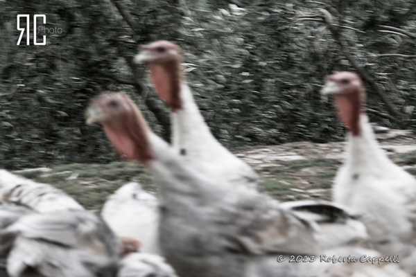 © 2013 Roberta Cappelli Valle del Misa, Marche. Questi tacchini ancora non li ho capiti. Ma mi fido.